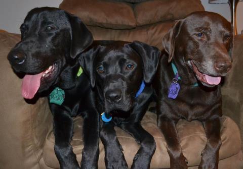 3 Labrador Retrievers