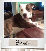 vip dogs bandit