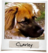 vip dogs charley