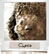 vip dogs choco